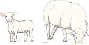 Sheep & Lamb Illustration